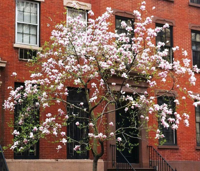 Magnolia in New York West Village